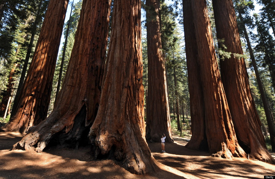 A woman stands amongst a grove of a Giant Sequoia trees in the Sequoia National Park in Central California on October 11, 2009. The Redwood trees which are native to California's Sierra Nevada Mountains are the world's largest by volume reaching heights of 274.9 feet (84.2 metres) and a ground level girth of 109 feet (33 metres). The oldest known Giant Sequoia based on it's ring count is 3,500 years old.            AFP PHOTO/Mark RALSTON (Photo credit should read MARK RALSTON/AFP/Getty Images)